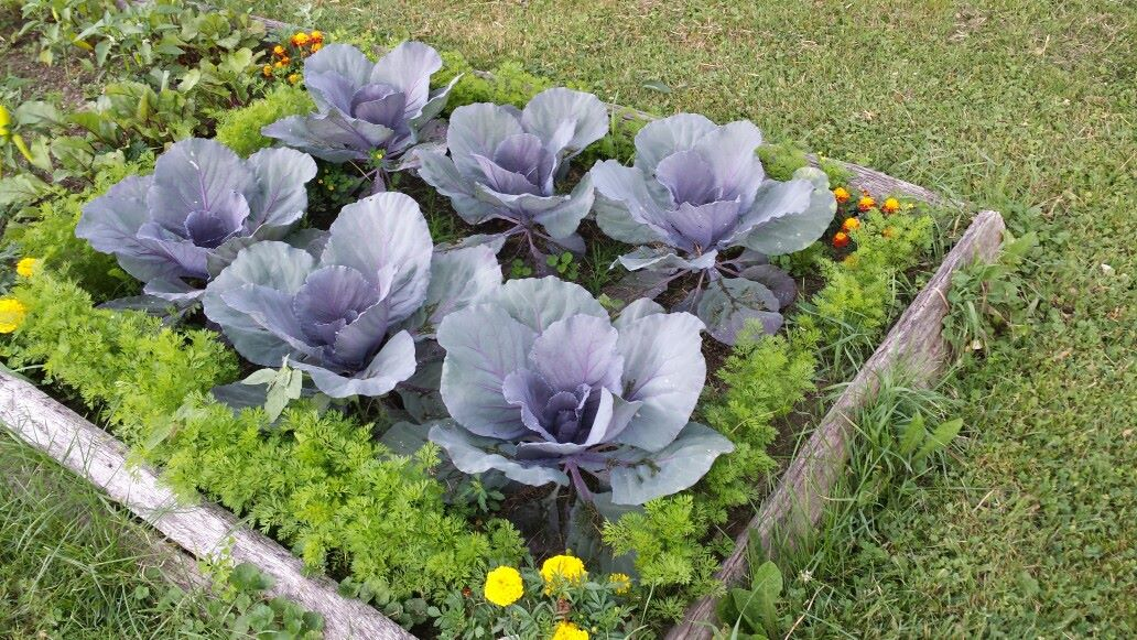 pretty cabbages